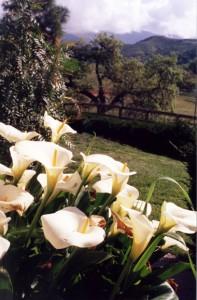 Lilies at Rancho Vilasa